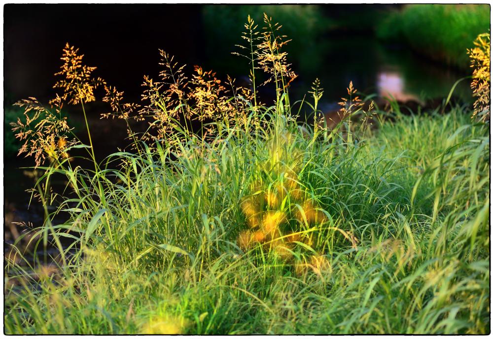 夏草の輝き
