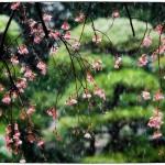 「花見」 小江戸川越散歩166